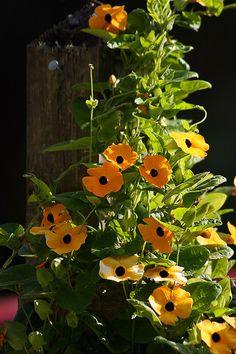 Thunbergia alata (Szárnyas feketeszem)  A thunbergia alata egy alacsony egynyári növény, amely jól fejlődik konténerben is. A kis sárga és narancssárga virágoknak gyakran sötét a közepük, ami egy fekete szemhez hasonlít. Gyakran csüngő virágként árulják. Jóllehet szépen nő konténerekben, ha átültetjük egy nagyobba vagy a földbe akkor mutatja meg igazi pompáját. A virágai sárga és narancssárga színűek. 2 m hosszúságot is elérhetik (egynyári növény).