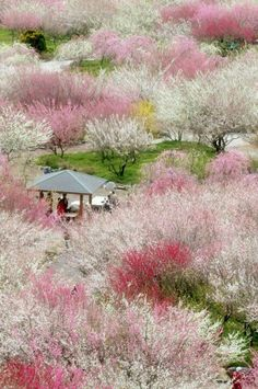 Konichiwa  Blooming cherry trees in Japan