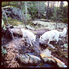 White Shepherds Sona and Wilma