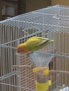 La visita de un perico muy colorido a la jaula de mis periquitos, comió de las semillas del dispensador de alimentos!! Imagen 1