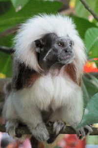 Help save critically endangered cotton-top tamarin habitat that will otherwise be sold to destructive cattle ranching interests. Protect the Endangered Cotton-Top Tamarin at The Rainforest Site