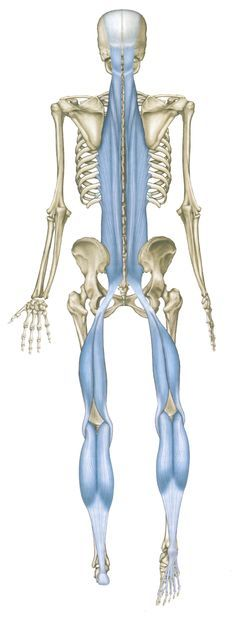 Here's an example of one structural fascia line that runs the entire length of the body called the posterior fascia line (PFL).   To help you understand where it is and how it looks, imagine a piece of fried chicken with the skin on it.  Just under and attached to the skin is a silky opaque tissue. That is fascia. Healthy fascia tissue is vital to overall health. Hundreds of users around the world treat and restore their fascia with the #FasciaBlaster!! www.FasciaBlaster.com