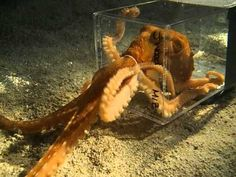Octopus escaping through a 1 inch hole..one of the most amazing creatures.  Beautiful