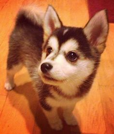 10 Adorable Dog Mashups - the Pomsky = too stinkin' cute!!  (however, I must add: Don't Shop; Adopt!)