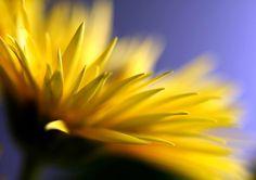 Yellow Rays #photographytalk #macrophotography