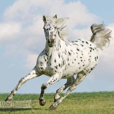 Appaloosa horse :: Knabstrupper horse mare.  The Knabstrupper is a very rare Dutch breed.