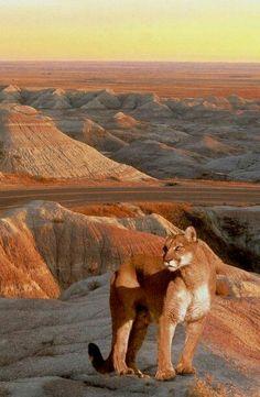 Leone di montagna Dakota