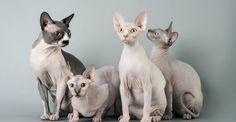 Uma raça de gato que tem feito muito sucesso ultimamente, a Sphynx  chama atenção pela ausência de pelos