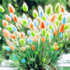Rabbit Tail Grass Seeds Mixed Color Garden Bunny Tail Grass Decor Plants Gardening from Home and Garden on banggood. - Egrow Rabbit Tail Grass Seeds Mixed Color Garden Bunny Tail Grass Decor Plants Gardening from Home and Garden on banggood.