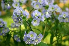 Polemonium caeruleum - Jacob's Ladder | Part to full shade |Zone 4-8 | Medium moisture | Naturalize | Deer resistant