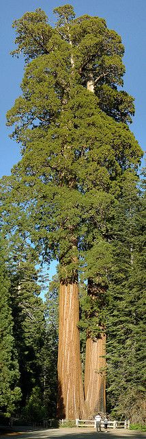 Giant Sequoia in Grant Grove in Kings Canyon National Park | Flickr -