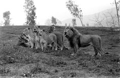 Frasier and several lionesses stand together at Lion Country Safari.