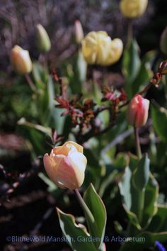 Tulip 'Silverstream' and a breaking rose in the Rose Garden