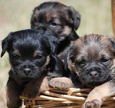 Free Image on Pixabay - Dog, Border Terrier, Border Terrier Mix, Border Terrier Puppy, Terrier Dog Breeds, Terrier Puppies, Terriers, Miniature Puppies, Teacup Puppies For Sale, Miniature Pinscher, Border Terrier Welpen