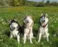 Pros and Cons of Owning Siberian Huskies