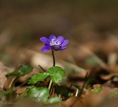 https://flic.kr/p/24wSFLk | (Anemone hepatica) | MC Rokkor 58mm 1,2