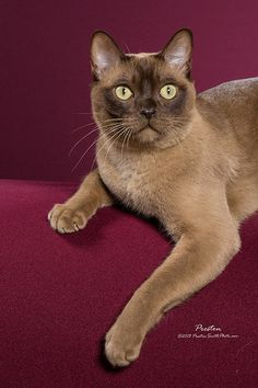 Pictures of Burmese Cat Breed