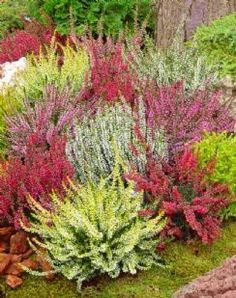 I WANT evergreen perennial heather. Heather Collection - Pack of 12 Heathers - Winter Hardy Evergreen Plants Winter Plants, Winter Garden, Winter Hanging Baskets, Heather Gardens, Orquideas Cymbidium, Garden Express, Evergreen Garden, Exterior, Back Gardens