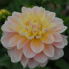 SHEER HEAVEN - dahlia Stunning soft pink peach and yellow blend Fabulous long stems for cutting. This one will be a favorite for sure. Garden Shop, Dream Garden, Exotic Flowers, Beautiful Flowers, Dahlia Flowers, Growing Dahlias, Garden Planning, Garden Plants, Fruit Garden