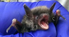 Researchers looking to cure white-nose syndrome — a major killer of American bats — have just reported a big success. A new treatment has saved the lives of infected bats.