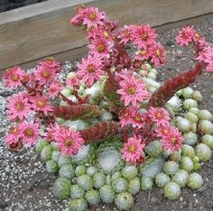 Sempervivum arachnoideum flowering - Shade Succulent