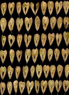 Box Elder Seeds