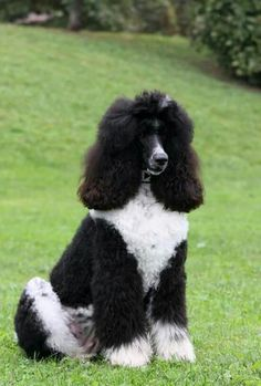 Poodle Grooming, Pet Grooming, White Puppies, Dogs And Puppies, Beautiful Dogs, Animals Beautiful, I Love Dogs, Cute Dogs, Standard Poodles