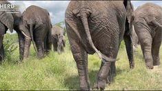 The Graceful Grey hue of Gentle Giants🐘🐘 gliding through the bush #elephants #southafrica #elephantorphanage #elephantswalking Gentle Giant, Elephants, Hue, South Africa, Animals, Animales, Animaux, Animal, Animais