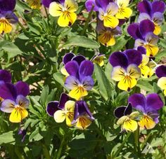Sow now, eat later! Johnny Jump-ups, one of the first spring edibles.