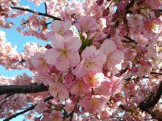 Cherry blossom at Saigoyama park by Hilo  on 500px