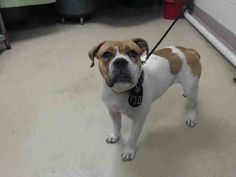 05/21/16--HOUSTON- -EXTREMELY HIGH KILL FACILITY - This DOG - ID#A459660 I am a female, white and brown Old English Bulldog mix. My age is unknown. I have been at the shelter since May 21, 2016. This information was refreshed 56 minutes ago and may not represent all of the animals at the Harris County Public Health and Environmental Services.