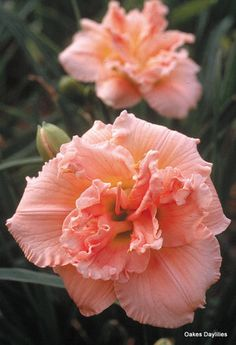 Fluffy pink blooms with lots of ruffles. One of our most popular varieties, winner of numerous awards including the Stout Medal, daylily& highest award. Front Yard Planters, Daylily Garden, Lilies Of The Field, Free Plants, Flower Planters, Day Lilies, Planting Flowers, Growing Flowers, Calla Lily