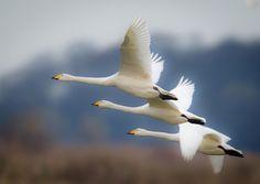 Swans - pure grace