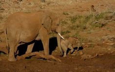 Mother helps youngster through a mud puddle - Madikwe Safari Lodge