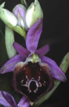 Ophrys biscutella [Bee-Orchid] - From Monte Gargano, Italy