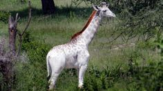 A 15-month-old rare white giraffe named Omo was photographed by researchers in Tanzania.