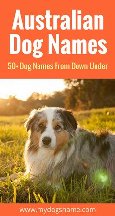 Discover these amazing Australian dog names! They're perfect for anyone who has been or is dreaming of going to the land down under. Or if you have an Australian dog breed!
