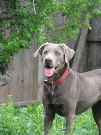 """Labrador retrievers, or """"Labs"""" as they've become fondly known, are one of the most popular dog breeds of our time. Silver Labrador Retriever, Labrador Retrievers, Cute Cats And Dogs, Dogs And Puppies, Silver Lab Puppies, Wags And Whiskers, Chocolate Lab Puppies, Silver Labs, Most Popular Dog Breeds"""