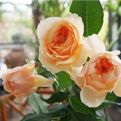 """本日の薔薇""""  ^^  あかり[Akari] 日本 Rose Farm keiji 作 2014年   花は桃杏色、黄昏どきの灯篭明りのように美しい色合い。フリルのように波打ち、花芯にはボタンアイ、きゅっと抱えた姿で可愛らしく咲きます。花もち、花つきの優秀なバラ。紅茶にフルーツを混ぜた、甘く香ばしい香りがある。樹形はフロリバンダタイプで、コンパクトにまとまる。前衛の花壇のほか、鉢栽培にも向きます。  花径:7~8cm 樹高:0.6~0.7m 花季:四季咲き その他:香⇒ゆたかな香り  ※京阪園芸ガーデナーズのF&Gロ-ズのバラはこちらから→ http://www.keihan-engei-gardeners.com/fs/keihangn/c/f-grose"""