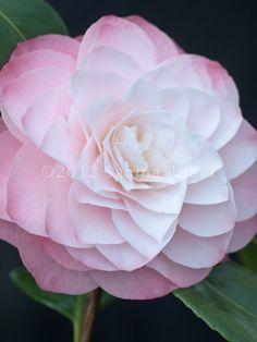 White Camellia Japonica | Camellia Japonica - Formal Doubles
