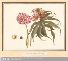 Louise von Panhuys, Blüte der Brechnuß Nux vomica, early 19th century