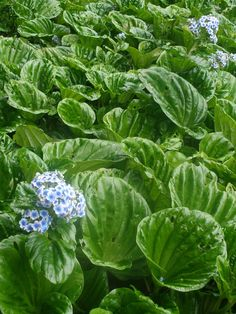 Myosotidium Hortensia Chatham Island Forget me not. Evergreen Plants, Plants, Tropical Garden, Native Garden, Trees To Plant, Garden Styles, Coastal Landscaping, Garden, Shade Plants