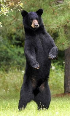 I got: Black Bear! What Is Your Spirit Animal? Bear Photos, Bear Pictures, Love Bear, Big Bear, Photo Ours, Animals And Pets, Cute Animals, Wild Animals, American Black Bear