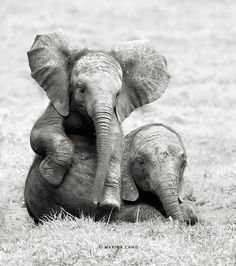 African Elephant babies just a beautiful Black & White #photography