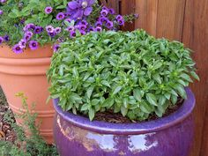 """Renee's Garden Container Herbs: Basil """"Spicy Globe"""" Heirloom variety with deliciously aromatic little leaves, perfect for containers, window boxes or edging a flower border. Plants form neat 6 to 9 inch umbrella-shaped leafy canopies. Growing Food, Garden, Basil Plant, Window Box Garden, Seed Starting Mix, Renees Garden, Water Plants, Garden Borders, Container Gardening"""