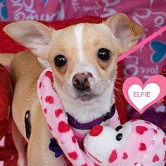 Brattleboro, Vermont - Chihuahua. Meet Elfie, a for adoption. https://www.adoptapet.com/pet/20704797-brattleboro-vermont-chihuahua-mix
