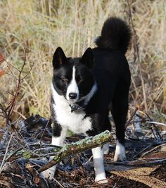 Karelian Bear Dog.   When I get property....this will perfect. Yes, I know the work and training that needs to be put in.  This isn't a flippant decision.  Besides, she/he will get to learn from my Canaan Dog.