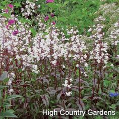 Penstemon digitalis 'Husker Red'; Husker Red Beardtongue
