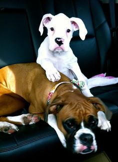 Boxer babies... Penny & Primus <3