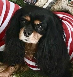 Cavalier King Charles Spaniel – Graceful and Affectionate Spaniel Breeds, Spaniel Dog, Dog Breeds, Cavalier King Charles Dog, King Charles Spaniel, Dog Competitions, Baby Puppies, Dog Show, Dog Style